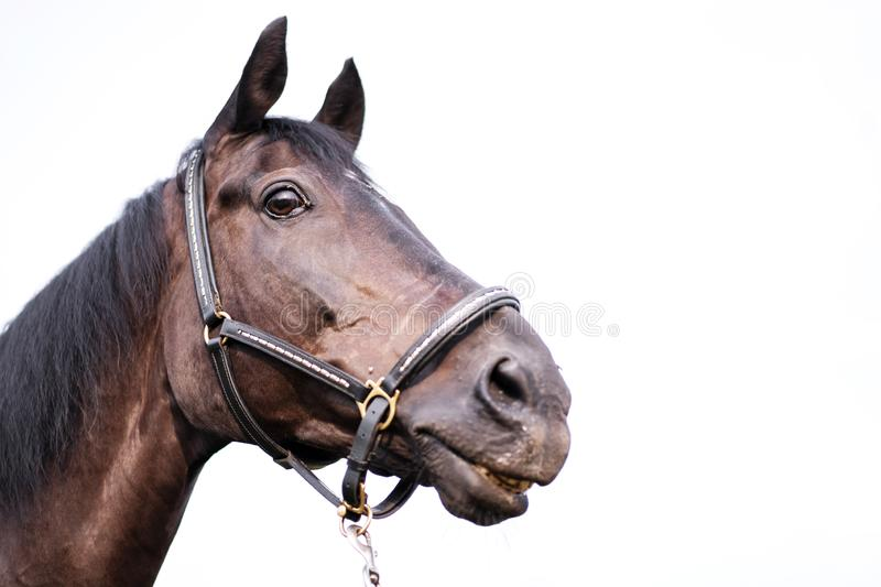 Portrait of a beautiful well-groomed dark horse on a white background. Isolated stock image