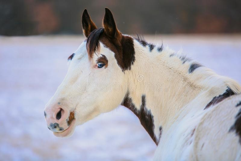 Portrait of beautiful white and brown paint horse. With blue eyes standing outdoors, a winter day at a ranch, blurry background with snow on ground, horizon in royalty free stock images