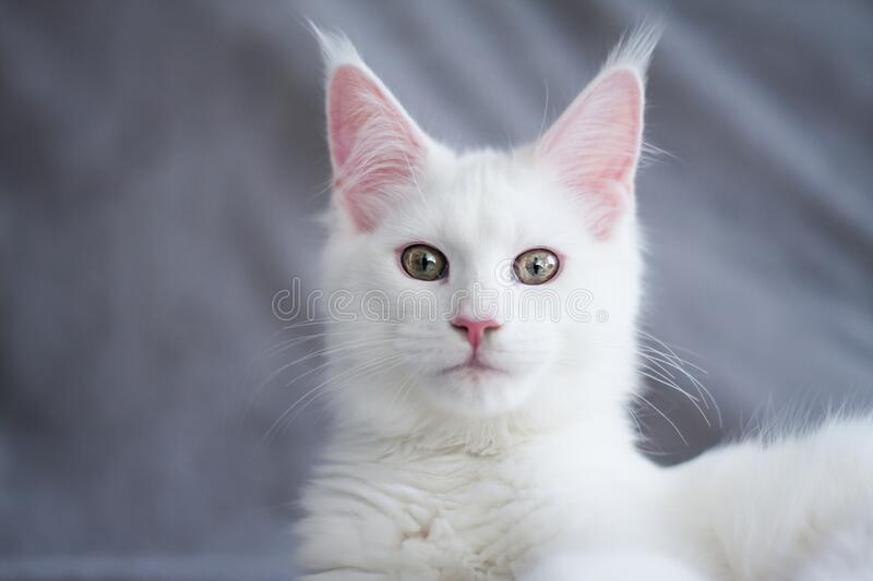Portrait of a beautiful white fluffy maine coon kitty cat. With yellow eyes stock photos