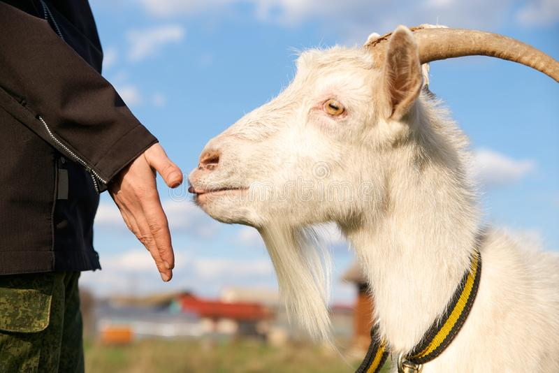 Portrait of a beautiful white goat with horns, blue sky with clouds. Livestock on a walk in a collar. Chewing fresh grass in early spring stock photos