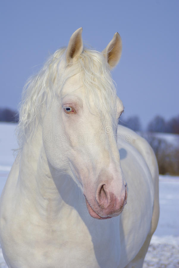 portrait of beautiful white horse with blue eyes stock images