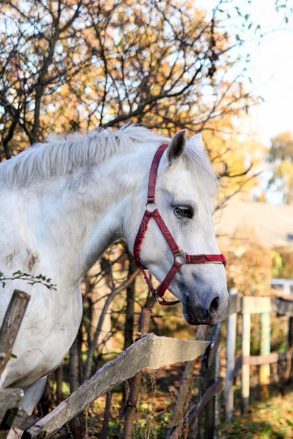 Portrait of beautiful white horse in the forest. Portrait of beautiful white horse in the autumn forest royalty free stock photo