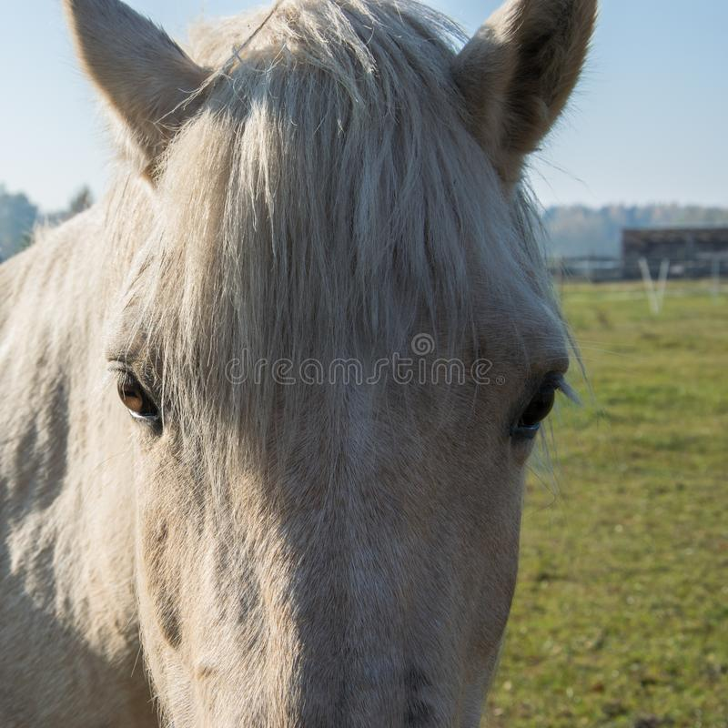 Portrait of a beautiful white horse looking at camera royalty free stock photo