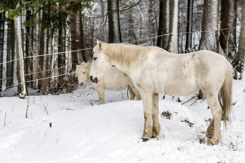Portrait of beautiful white horse in the winter mountain royalty free stock photography