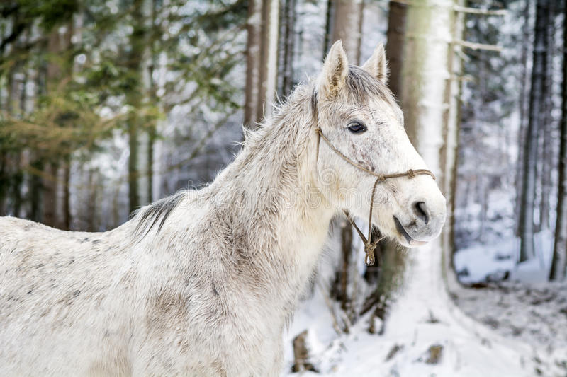 Portrait of beautiful white horse in the winter mountain stock image
