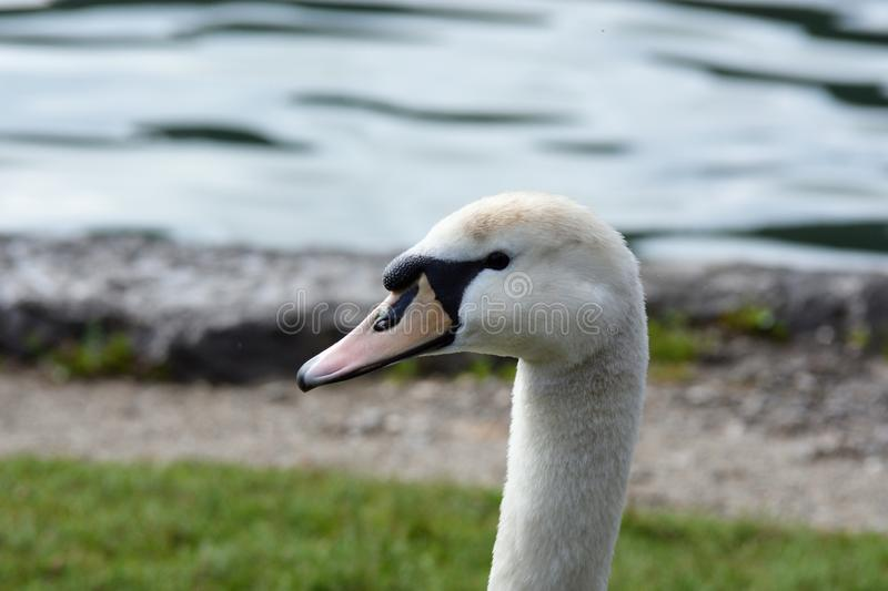 The portrait of the mute swan royalty free stock images