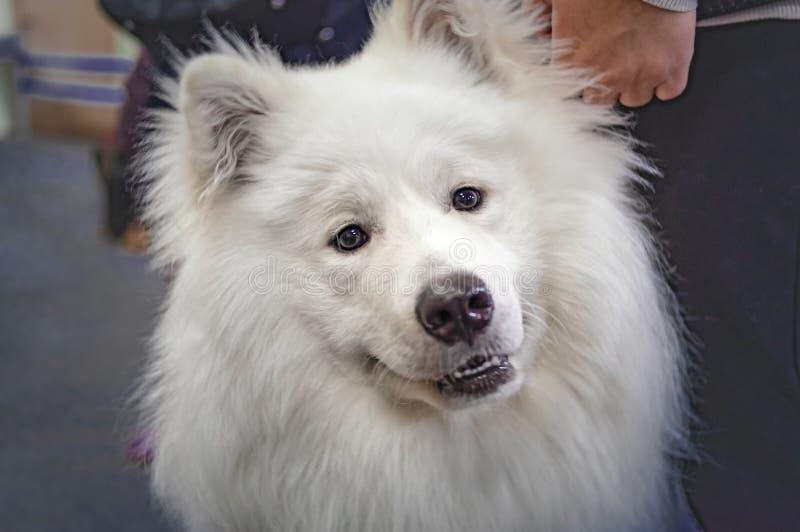 Portrait beautiful white Samoyed cute dog. stock photo