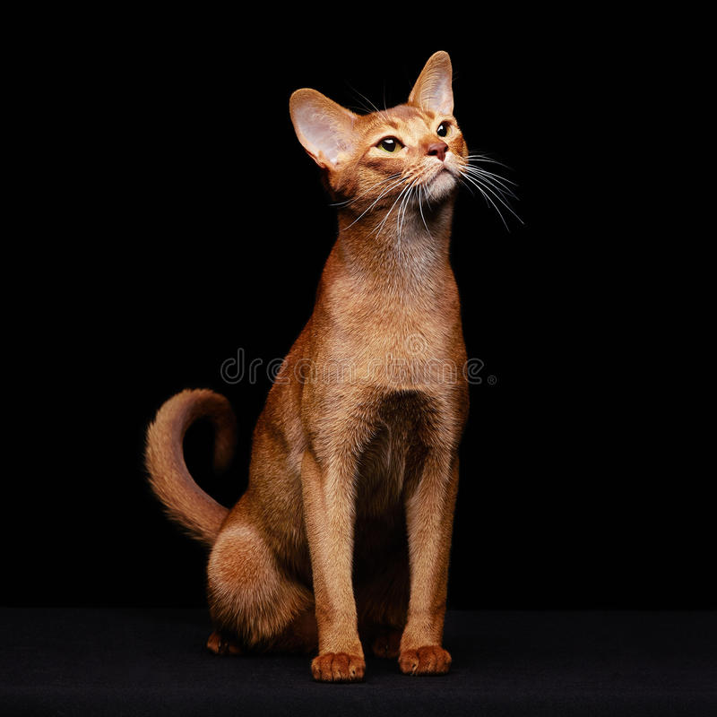 Portrait of beautiful young abyssinian cat stock photography