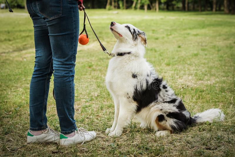 Portrait of a beautiful young Australian Shepherd Blue Merle looking at her master and waiting for the ball game stock image