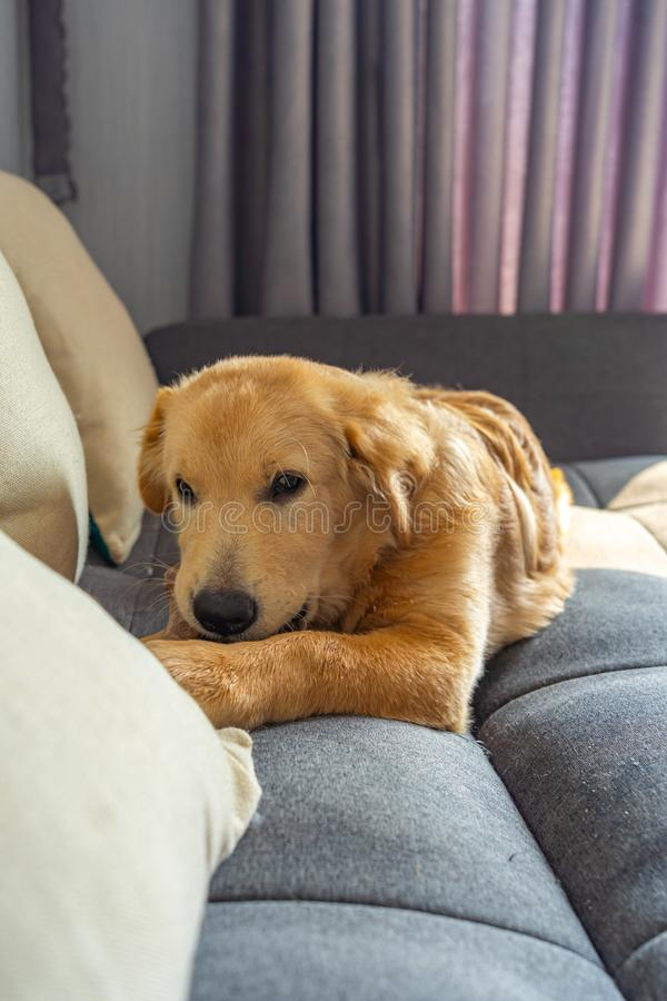 Portrait of beautiful young golden dog chewing toy on sofa royalty free stock photos