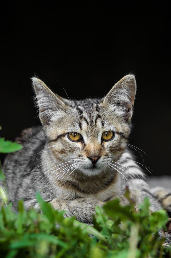 Portrait of a beautiful young gray kitten looking like a serval on a black background royalty free stock photo