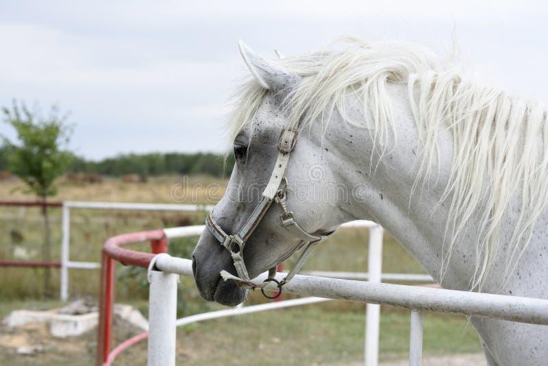 White Arabian horse. Portrait of beautiful young white arabian horse at Mangalia stud farm, Romania royalty free stock photo