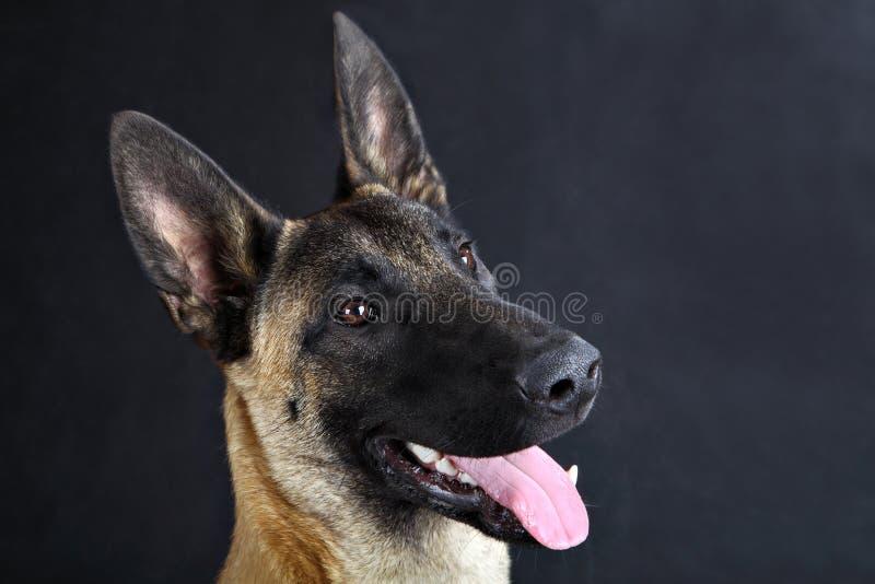 Portrait belge de studio de chien de berger de Malinois, fond gris photos stock