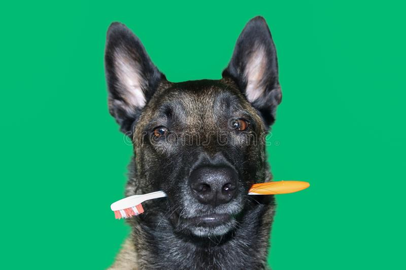 Portrait of Belgian Malinois shepherd dog with a toothbrush between teeth for hygiene and dental care of the dog on green backgr stock photo