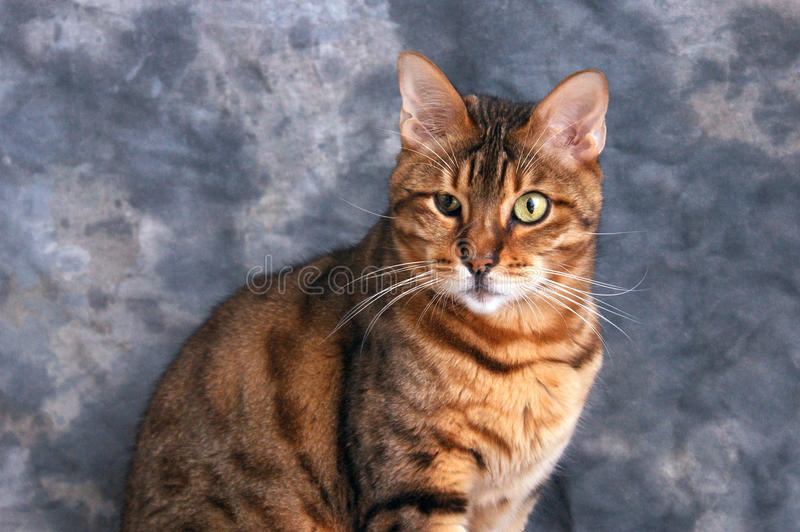 Portrait Of A Bengal Cat Royalty Free Stock Image