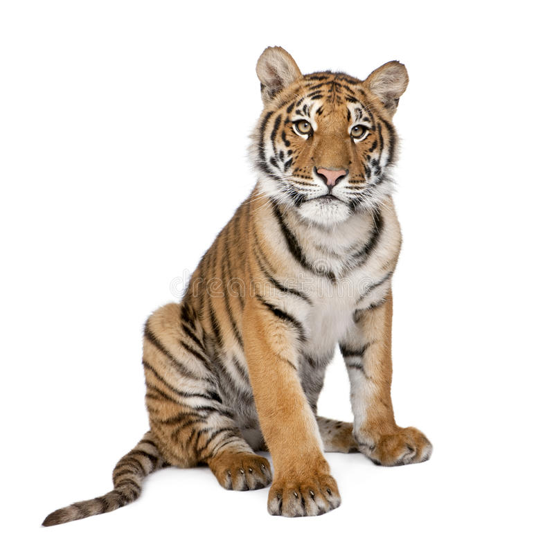 Portrait of Bengal Tiger, 1 year old, sitting. In front of white background, studio shot, Panthera tigris tigris stock image
