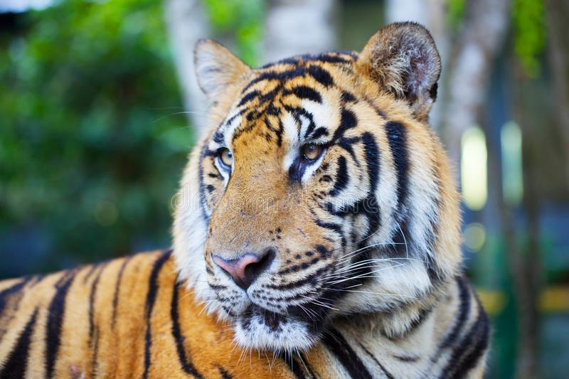 Portrait of a bengal tiger.p stock photo