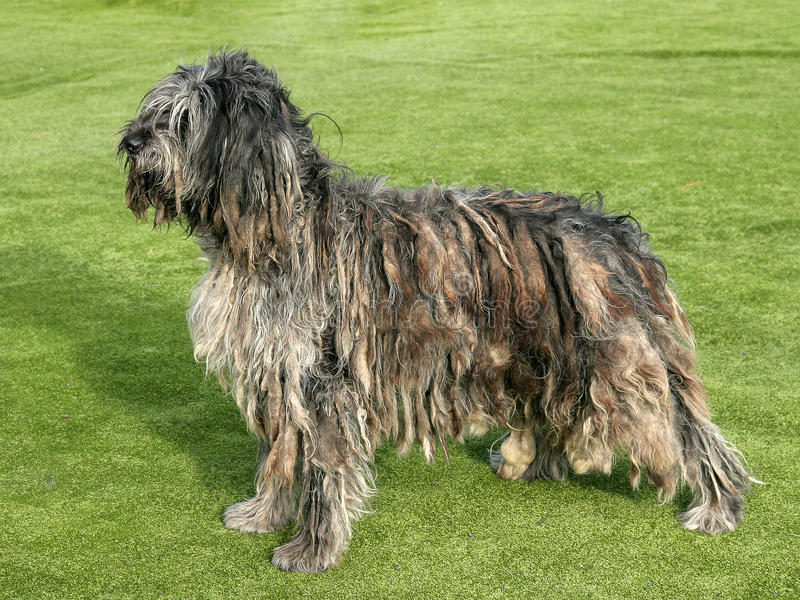 Portrait of Bergamasco Shepherd dog