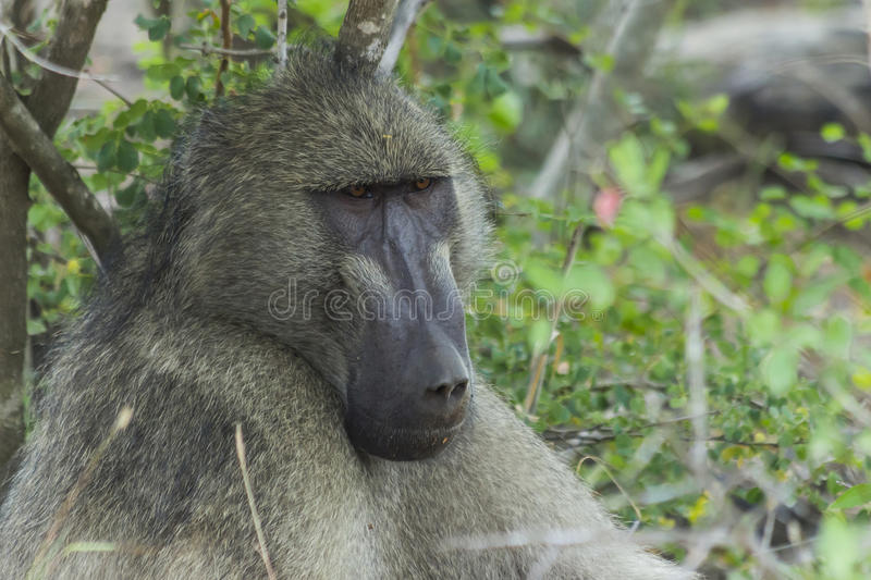 Portrait of a big baboon. In the bush royalty free stock images