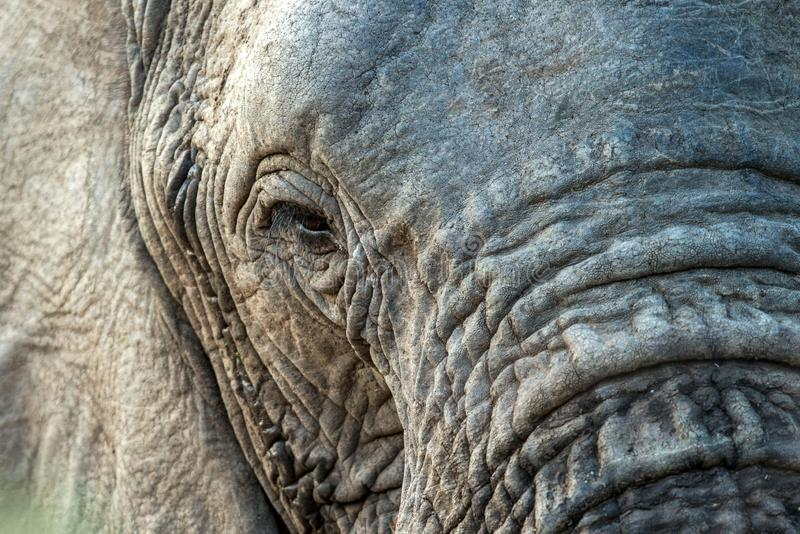 Portrait of a big beautiful elephant outdoors, wild animal, safari game drive, Eco travel and tourism, Kruger national park, South stock photo