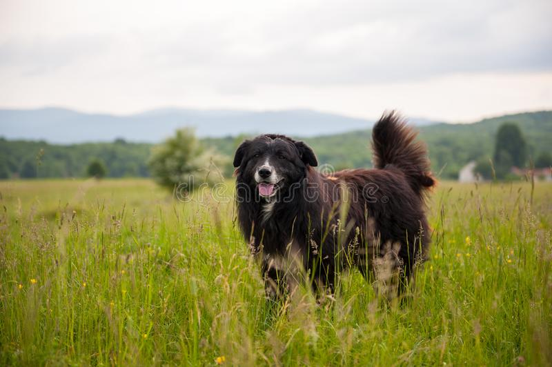 Portrait of big black dog in the field with tall green grass. Sheep protector. Big domestic dog in tall grass stock photos