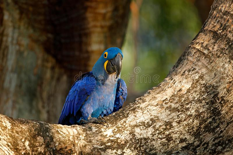 Portrait of big blue parrot, Pantanal, Brazil, South America. Beautiful rare bird in the nature habitat. Macaw in wild nature. Hya. Cinth Macaw, Anodorhynchus royalty free stock images