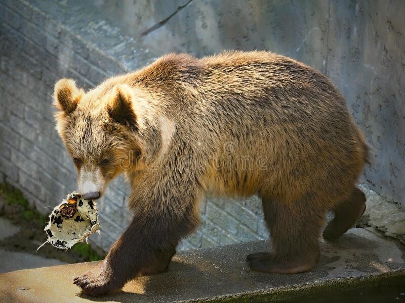 Portrait of a big Brown bear in ZOO. Nice background stock photo