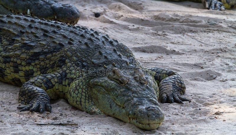 Portrait of big crocodile on the banks of the River Grumeti, Serengeti. Africa royalty free stock photo