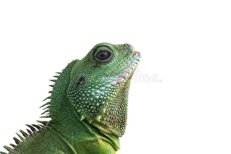 Portrait of big iguana isolated on white background. Close-up of the bearded dragon head on a white background stock images