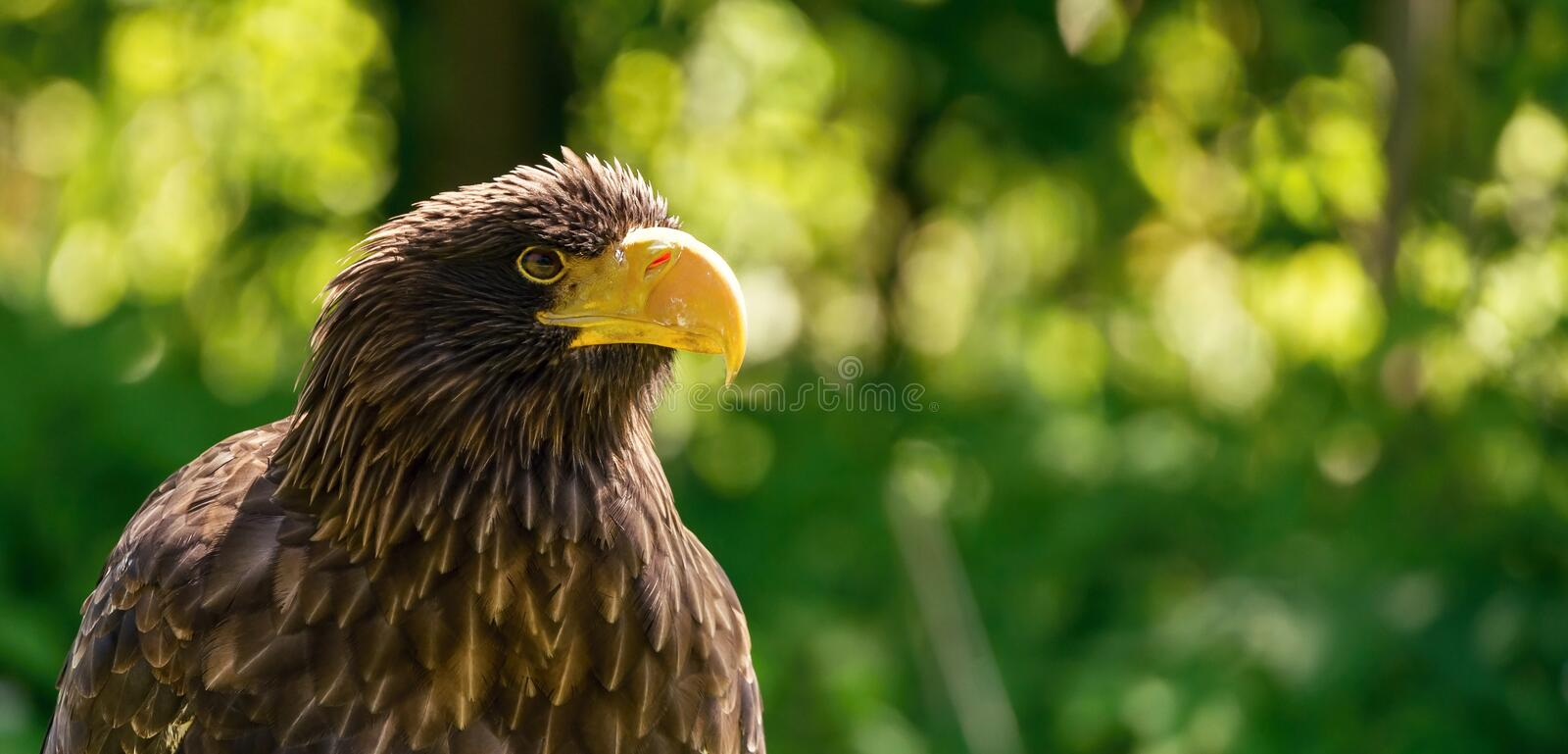 Portrait of big male sea eagle on green background royalty free stock image