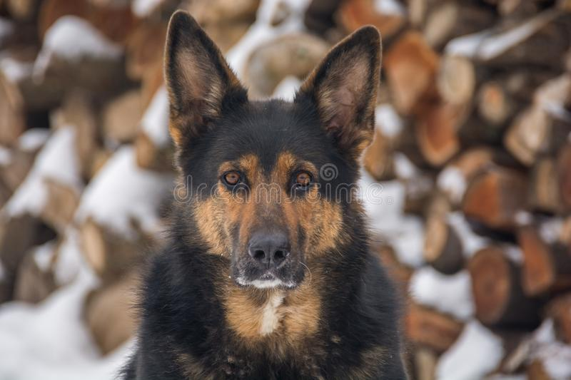 A big dog in front of snowy background. Portrait of a big mixed breed dog with snowy stacked wood in the background royalty free stock photography