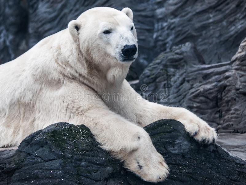 Portrait of big polar bear lying on a rock.  stock photos