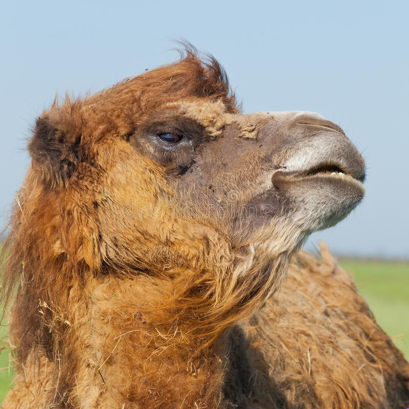 Portrait big and sad camel with a drop of tears in his eye turned out from you stock images