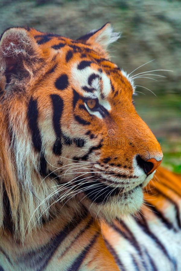 Portrait of a big tiger in profile, close-up. Portrait of a big tiger in profile royalty free stock photography