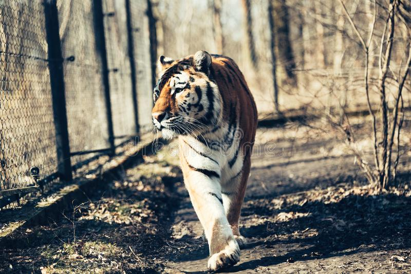 Portrait of big tiger walking in forest. Portrait of big strong tiger walking in forest stock photos