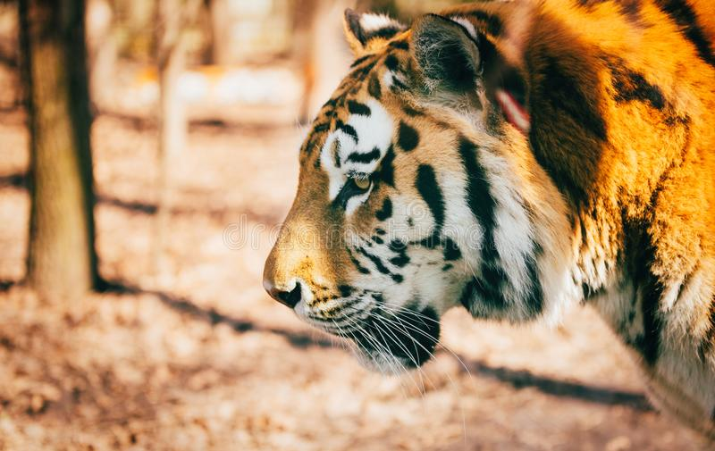 Portrait of big tiger walking in forest. Portrait of big strong tiger walking in forest royalty free stock photography