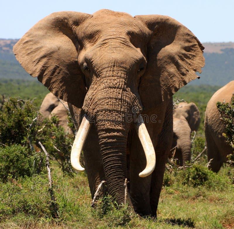 Portrait of a big tusker Bull Elephant royalty free stock photo
