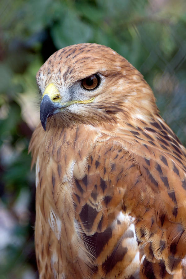 Portrait of bird of falcon. Beautiful bird with a sharp bill stock image