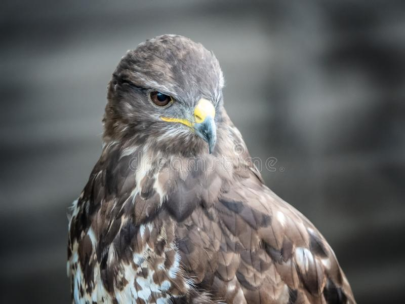 Portrait of a bird golden eagle with plumage. Portrait of a bird golden eagle with gray plumage stock image