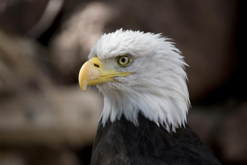 A portrait of a bird of prey American eagle on a neutral beige background. A beautiful portrait of a bird of prey American eagle on a neutral beige background stock image