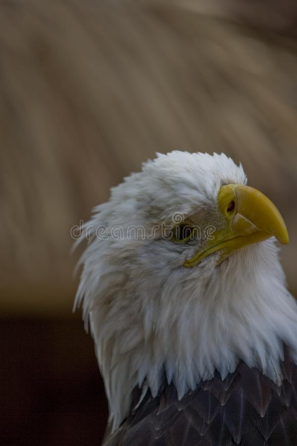 A portrait of a bird of prey American eagle on a neutral beige background. A beautiful portrait of a bird of prey American eagle on a neutral beige background stock images