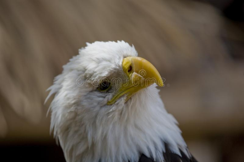 A portrait of a bird of prey American eagle on a neutral beige background. A beautiful portrait of a bird of prey American eagle on a neutral beige background royalty free stock photos