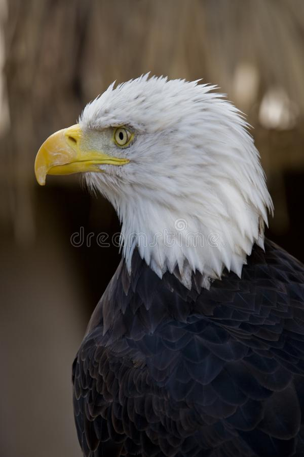 A portrait of a bird of prey American eagle on a neutral beige background. A beautiful portrait of a bird of prey American eagle on a neutral beige background royalty free stock images