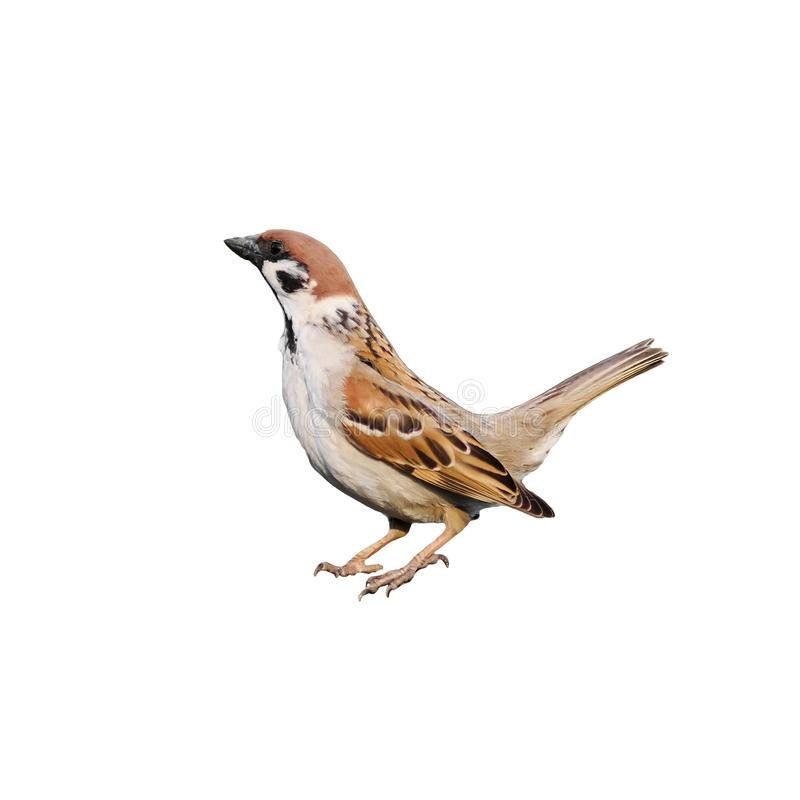 Portrait of a bird a Sparrow standing on white isolated b royalty free stock images