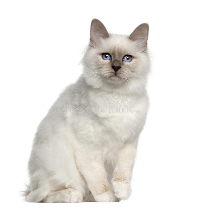 Portrait of Birman cat royalty free stock photography