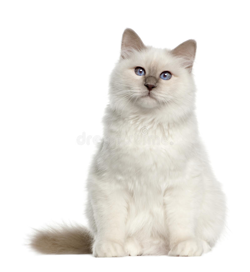 Portrait of Birman cat, 6 months old, sitting stock photography