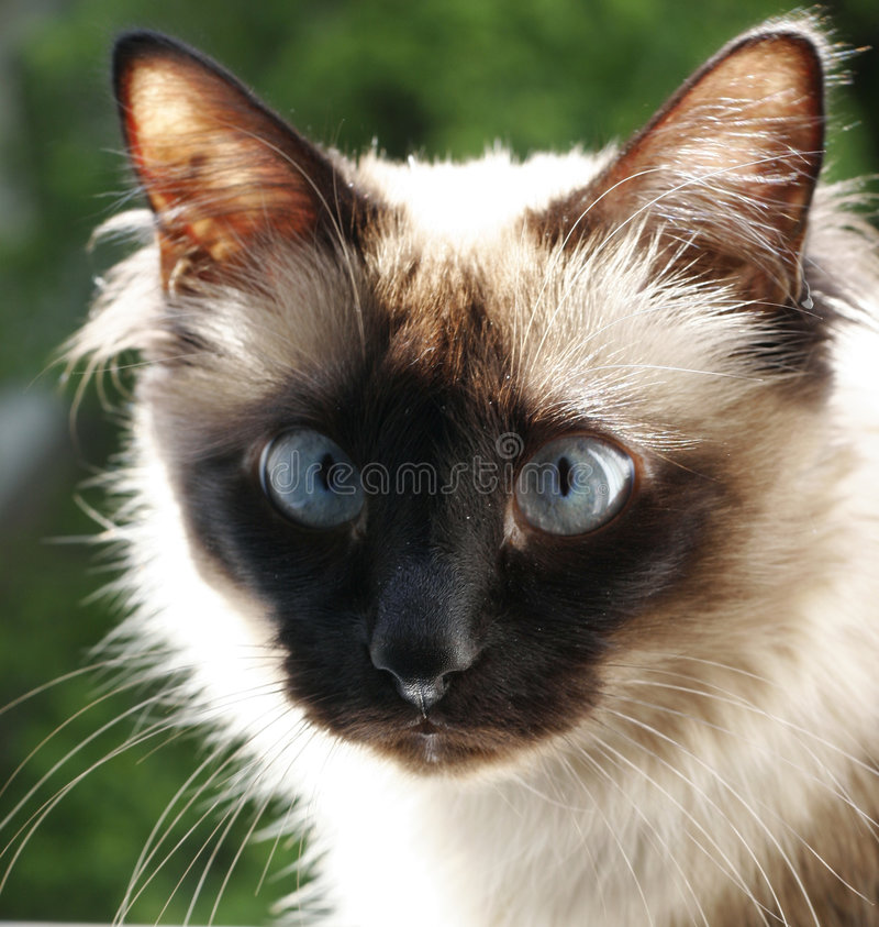 Portrait Of A Birmanese Royalty Free Stock Photos
