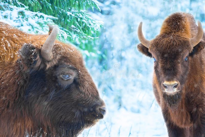 Portrait of bisons buffalo against amazing winter forest background with snow covered trees royalty free stock images