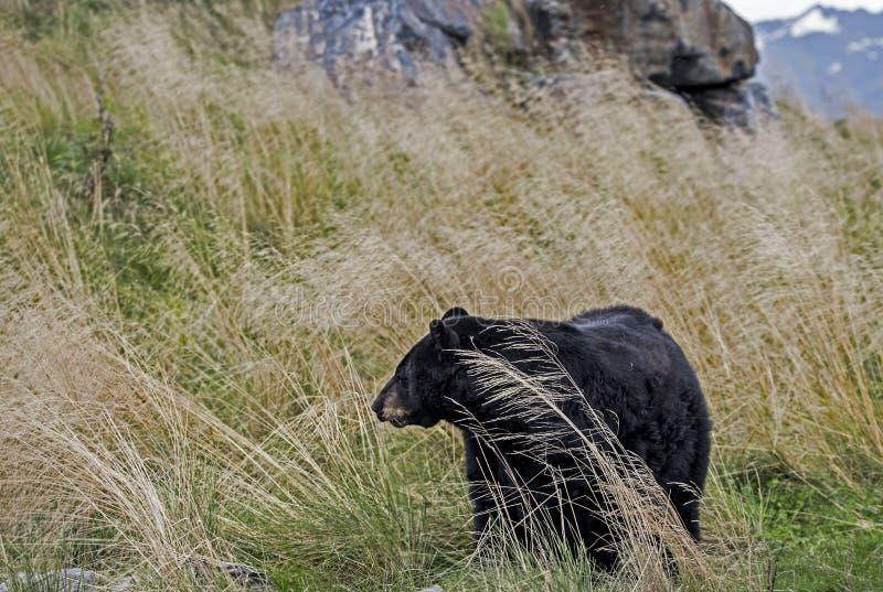 Portrait of Black Bear of Alaska feeds on green grasses. Portrait Black Bear feeding on green grasses stock photo
