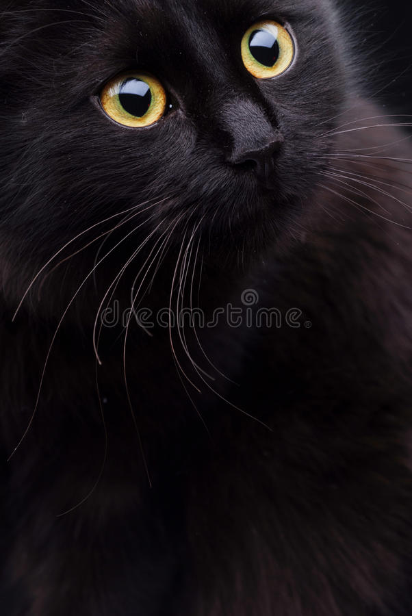 Black cat. Portrait of a black Burmese cat stock photo